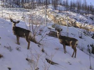 winter_deer[1]